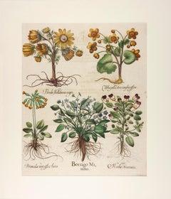 Basilius Besler Hand-Colored Floral Engraving