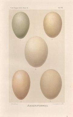 Bird Eggs - Six Antique egg chromolithographs print, 1905