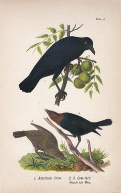American Crow / Cow-bird; Plate 57