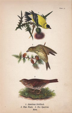 American Goldfinch / Pine Finch / Fox Sparrow; Plate 31