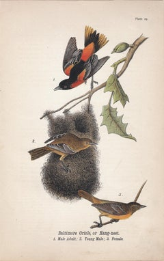 Baltimore Oriole, or Hang-nest; Plate 29
