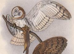 Barn Owl; Plate 17