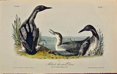 """""""Black-throated Diver"""", Original First Edition Audubon Hand Colored Lithograph"""