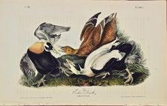 """""""Eider Duck"""", an Original First Edition Audubon Hand Colored Lithograph"""