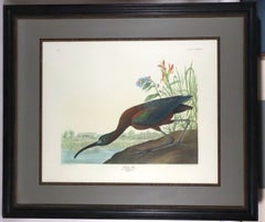 After Audubon Glossy Ibis color lithograph facsimile with full margins