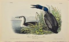 """""""Great North Diver"""", an Original First Edition Audubon Hand Colored Lithograph"""