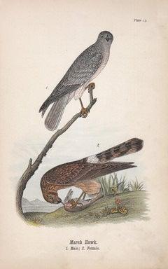 Marsh Hawk; Plate 13
