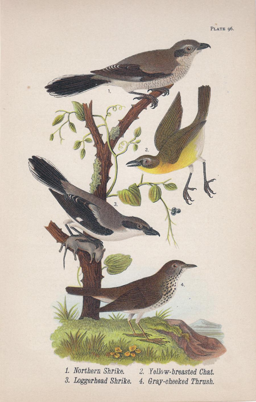 Northern Shrike / Yellow-breasted Chat / Loggerhead Shrike / Gray-cheeked Thrush
