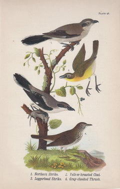 Northern Shrike / Yellow-breasted Chat / Loggerhead Shrike / Gray-cheeked Thrush