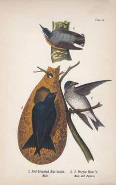 Red-breasted Nut-Hatch / Purple Martin; Plate 58