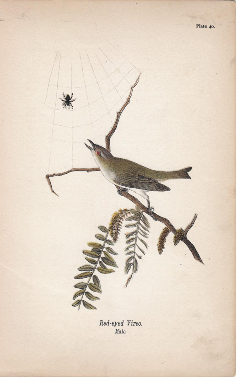 Red-eyed Vireo; Plate 40