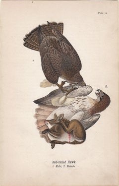 Red-tailed Hawk; Plate 15
