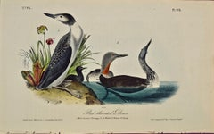 """""""Red-throated Diver"""", an Original First Edition Audubon Hand Colored Lithograph"""