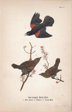 Red-winged Black-Bird; Plate 27