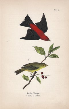 Scarlet tanager; Plate 37