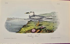 """Trudeau's Tern"", an Original First Edition Audubon Hand Colored Lithograph"