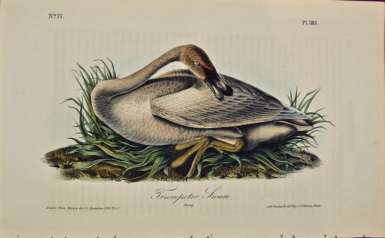 """Trumpeter Swan"", an Original First Edition Audubon Hand Colored Lithograph"