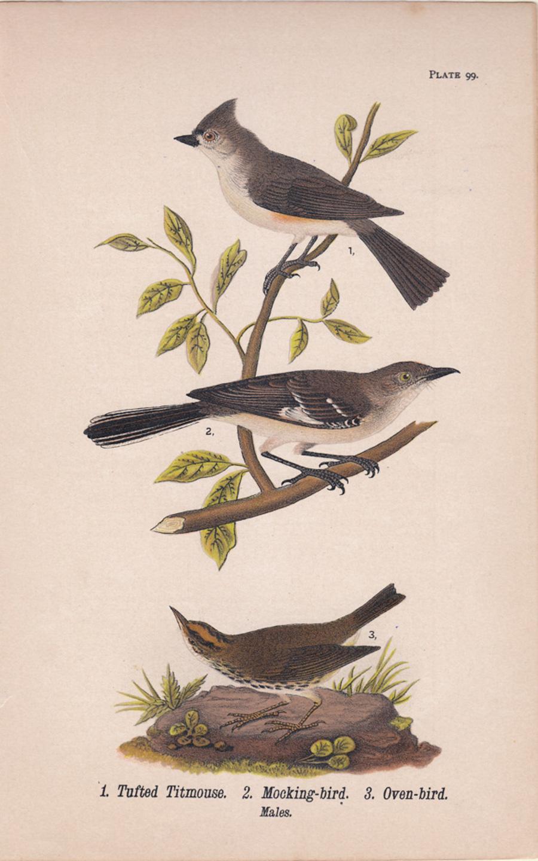 Tufted Titmouse / Mocking-bird / Oven-bird; Plate 99