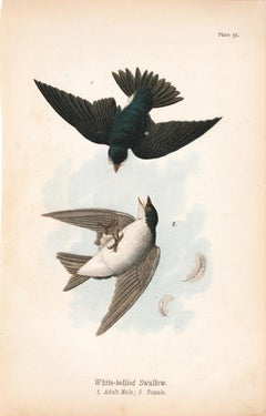 White-bellied Swallow; Plate 38