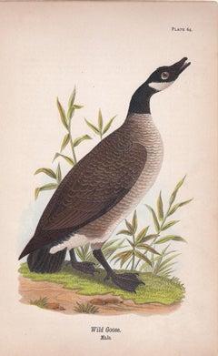 Wild Goose; Plate 64