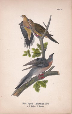 Wild Pigeon / Mourning Dove; Plate 71