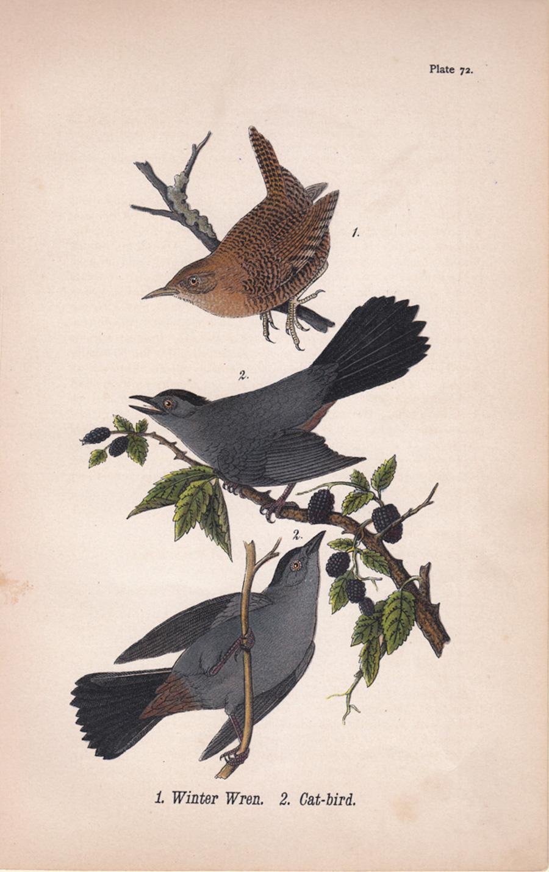 Winter Wren / Cat-bird; Plate 72