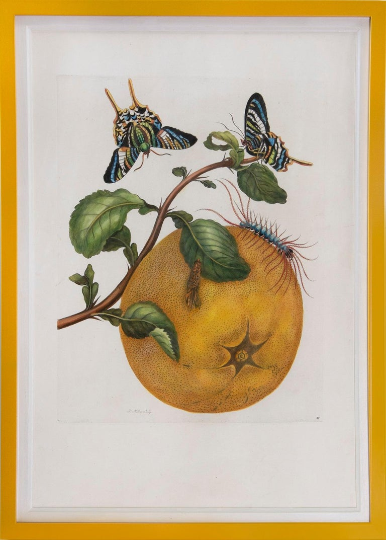 [MERIAN, Maria Sibyl].  A Group of Six Flowers, Insects and Fruits.   The Hague, Gosse, 1719.  A group of six engravings by J. Mulder, P. Sluyter and D. Stoopendaal after Merian, with later hand-colour, of flowers, fruits and insects from