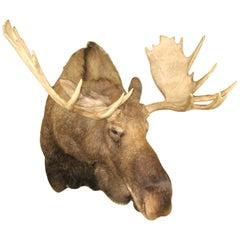 Alaskan Bull Moose Shoulder Mount Plus Professional Taxidermy Alaska