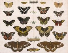 Butterflies, Moths and Caterpillars Engraving