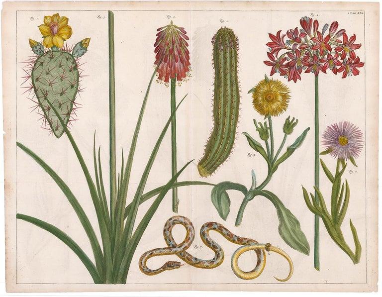 Cactus and Flower Engraving  - Print by [SEBA, Albertus].