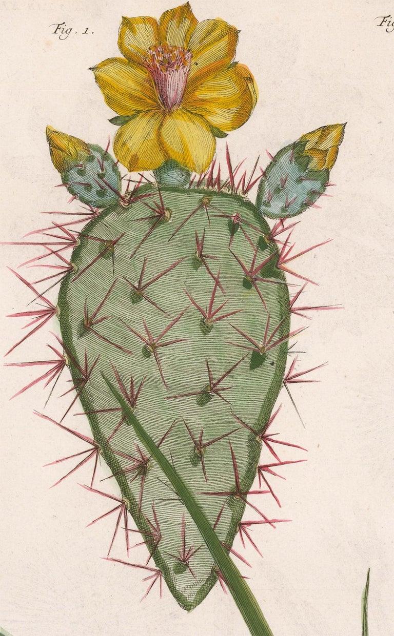 Cactus and Flower Engraving  - Naturalistic Print by [SEBA, Albertus].