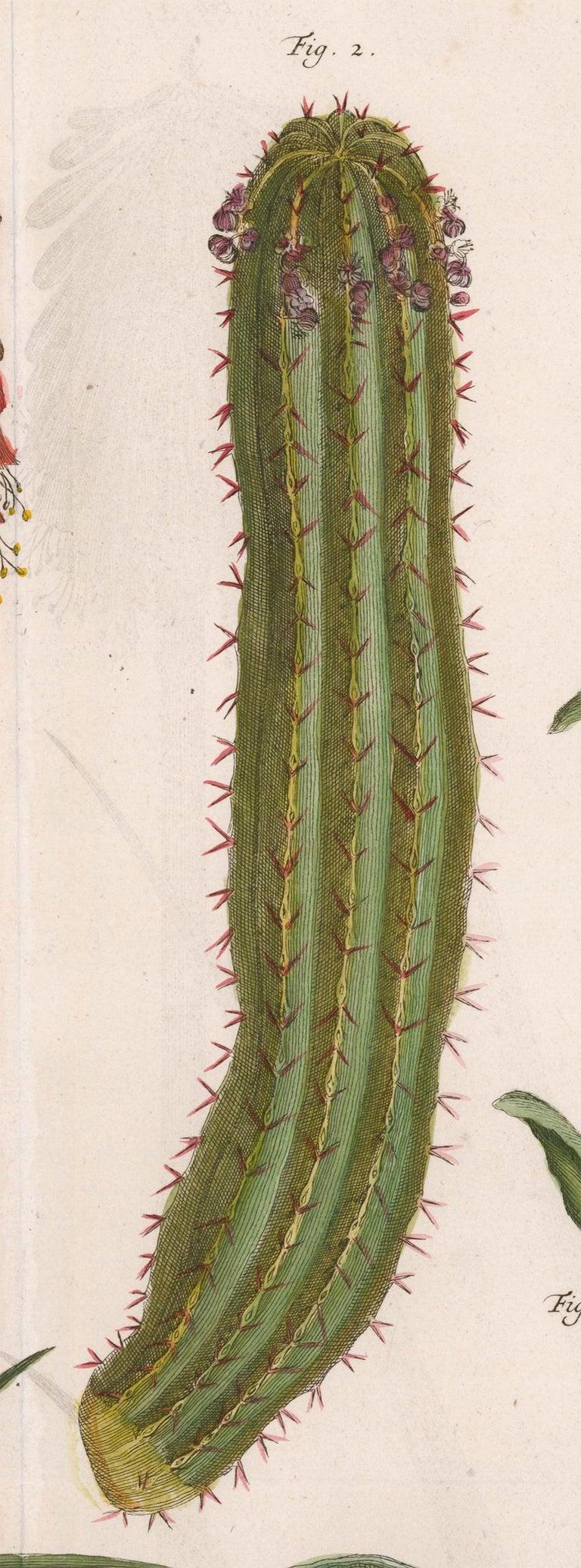 Cactus and Flower Engraving  - Beige Print by [SEBA, Albertus].