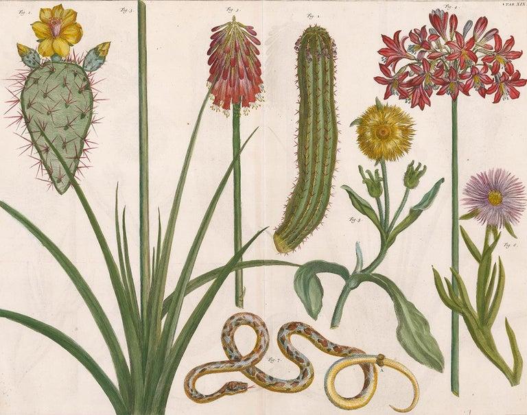 [SEBA, Albertus]. Print - Cactus and Flower Engraving