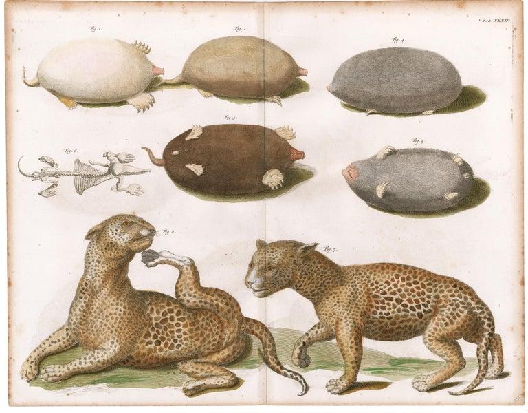 Leopards and Mole Engraving - Print by [SEBA, Albertus].
