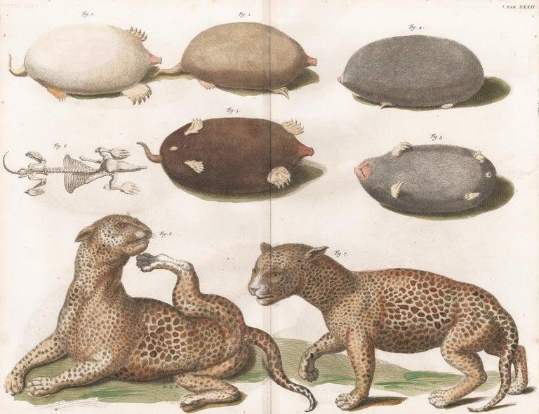 [SEBA, Albertus]. Animal Print - Leopards and Mole Engraving