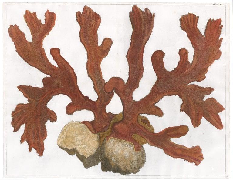 Red Coral Engraving  - Print by [SEBA, Albertus].