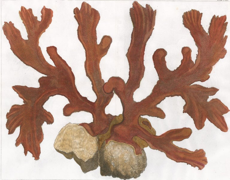 [SEBA, Albertus]. Print - Red Coral Engraving