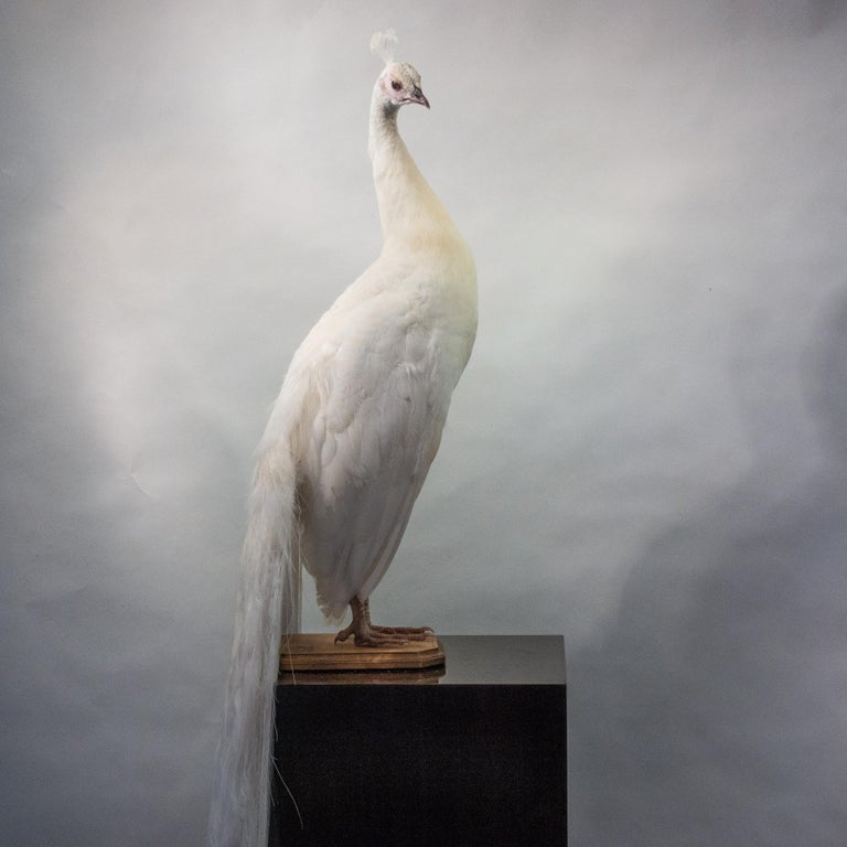 Taxidermy albino peacock, beautifully mounted on an oval, wooden base with removable tail for flexibility of placement.