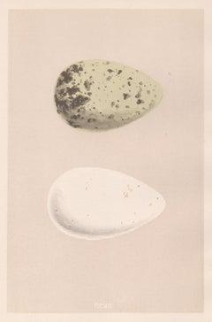 Bird Eggs - Antique egg colour woodblock print, 1875