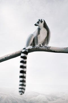 Laid-Back Lemur