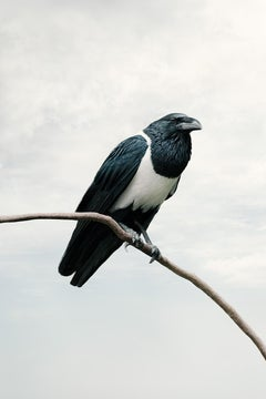 Present Pied Crow