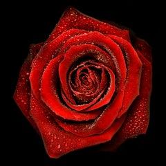 Allan Forsyth, Rose N°2, Contemporary Art, Floral Art, Affordable Art