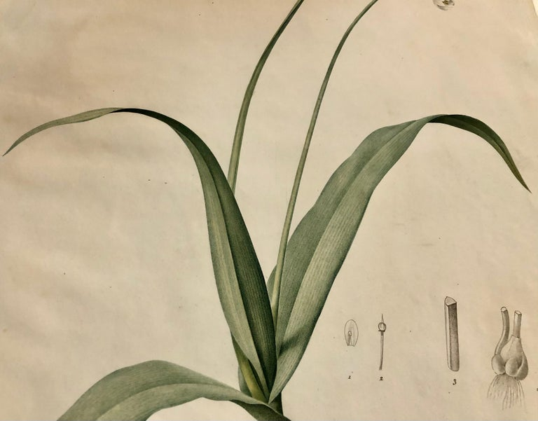 Allium Album Hand Painted Colored Engraving Signed P.J. Redoute 3