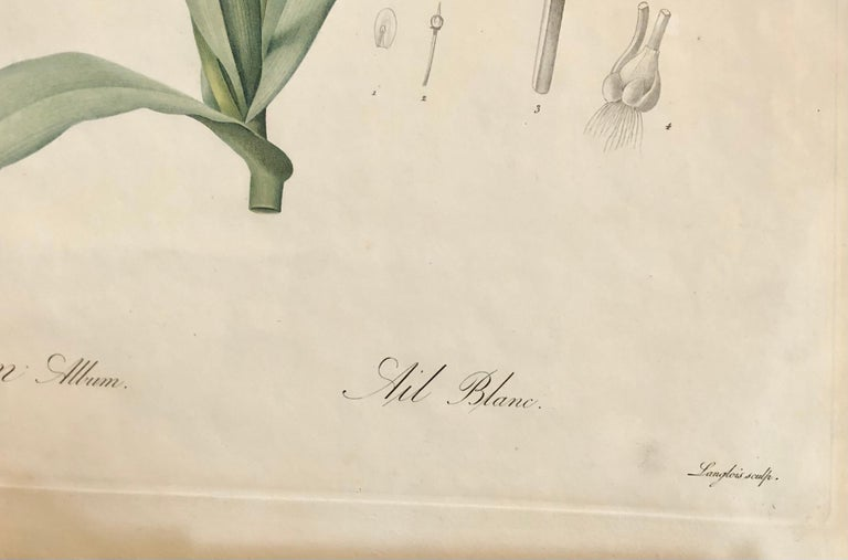Allium Album Hand Painted Colored Engraving Signed P.J. Redoute 4