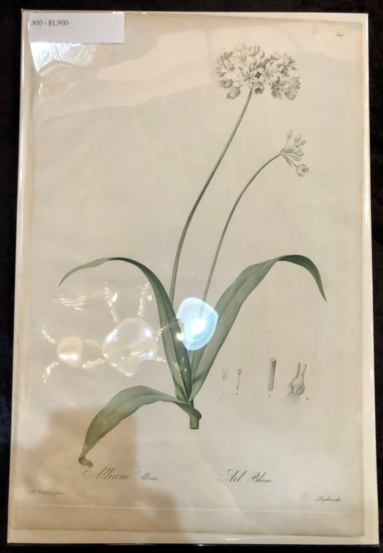 Allium Album Hand Painted Colored Engraving Signed P.J. Redoute 6