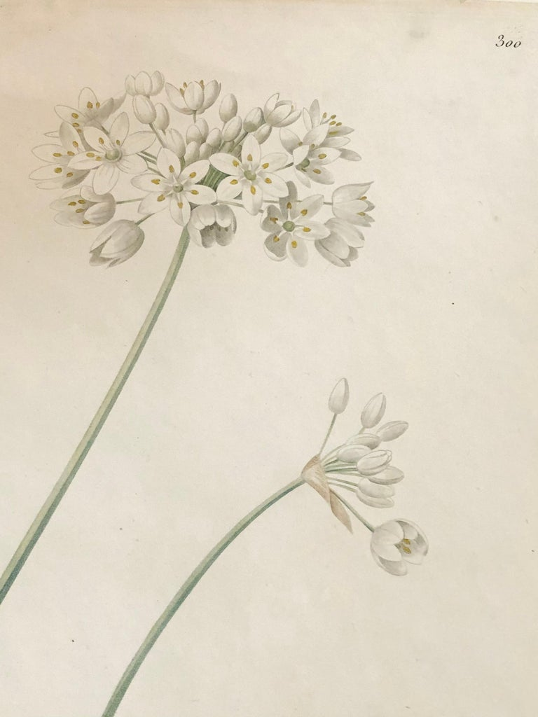 Allium Album Hand Painted Colored Engraving Signed P.J. Redoute In Good Condition In Stamford, CT