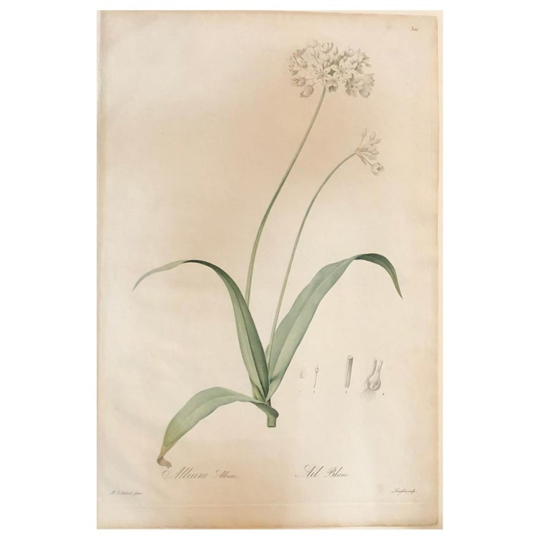 Allium Album Hand Painted Colored Engraving Signed P.J. Redoute