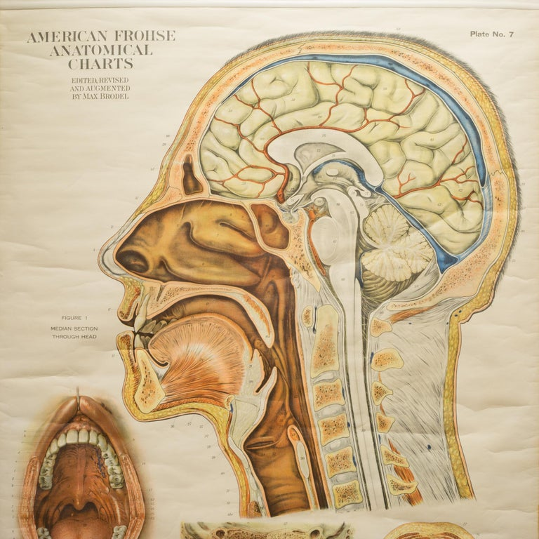 American Frouse Anatomical Chart, circa 1918 In Good Condition For Sale In San Francisco, CA