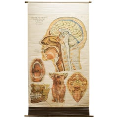 American Frouse Anatomical Chart, circa 1918