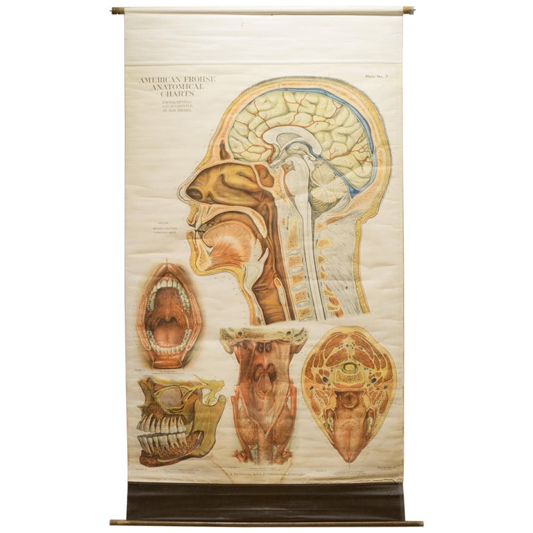 American Frouse Anatomical Chart, circa 1918 For Sale